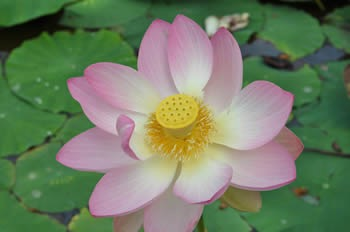 maulevrier-kyudojo-ete-lotus