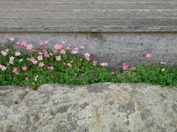 maulevrier-kyudojo-printemps-entree-saxifrage