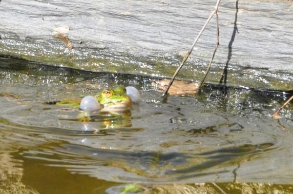 maulevrier-kyudojo-printemps-grenouille