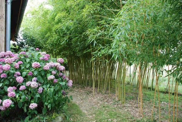 kyudo : floraison des hortensias dans le jardin du kyudojo de Toulouse en été